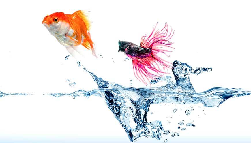 Jakie ryby z bojownikiem
