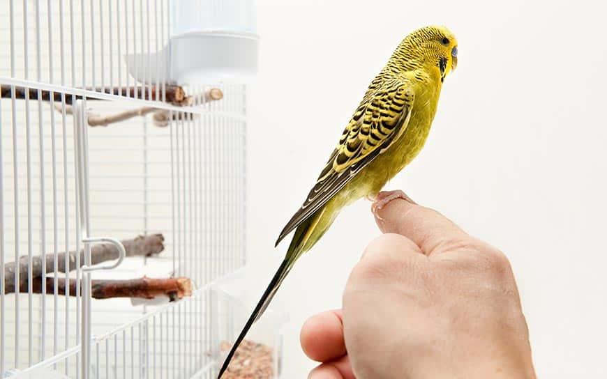 Oswajanie papug falistych