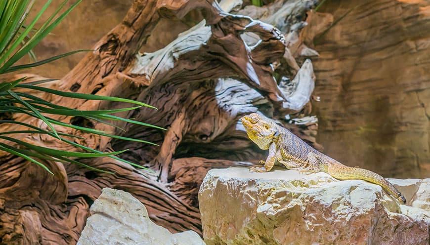 Jak powinno wyglądać terrarium dla agamy brodatej