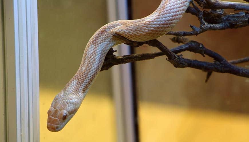 Jakie terrarium dla węża zbożowego