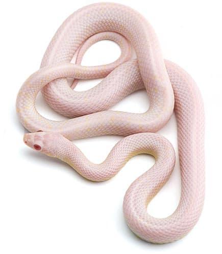wąż zbożowy blizzard