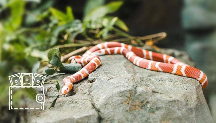 wąż zbożowy cena