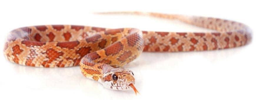 wąż zbożowy odmiany