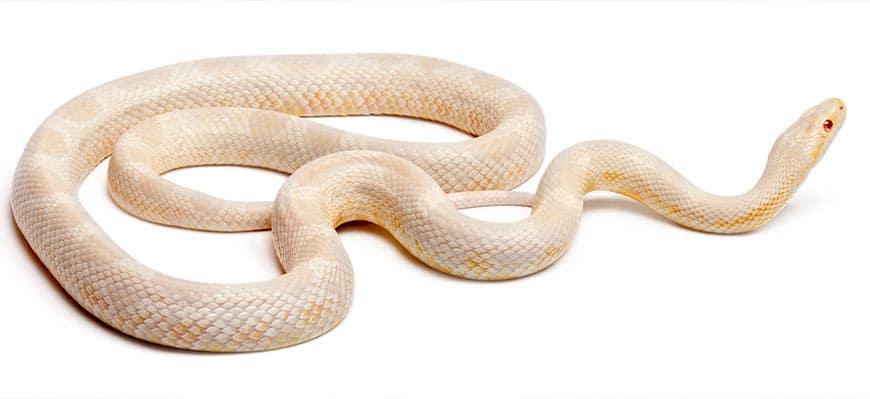 Wąż zbożowy snow