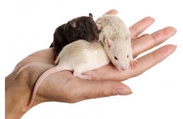 Szczur domowy - przyjaciel czy szkodnik?
