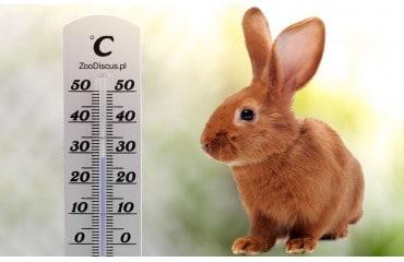 Jak ochłodzić królika w upalne dni - przegrzanie królika objawy