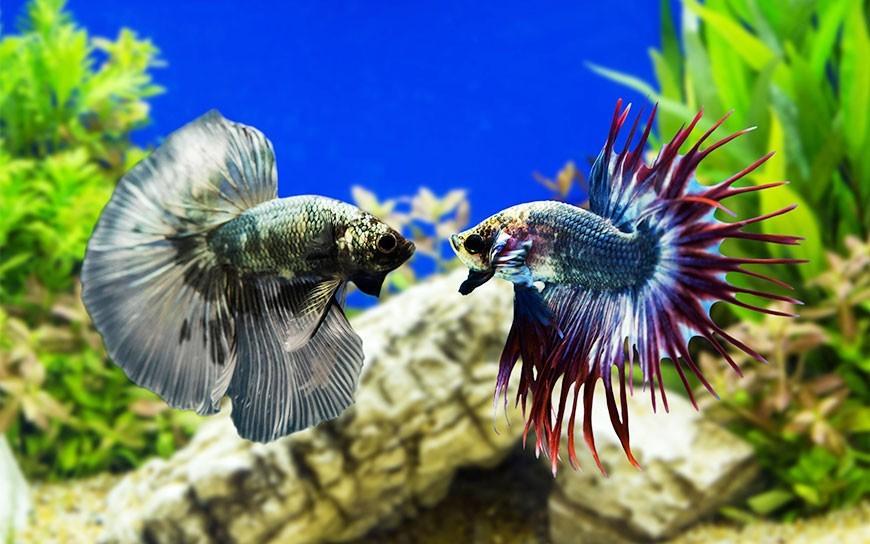 Bojowniki ryby (Betta) sprawdź jakie ryby z bojownikiem, ile żyją i jak dbać
