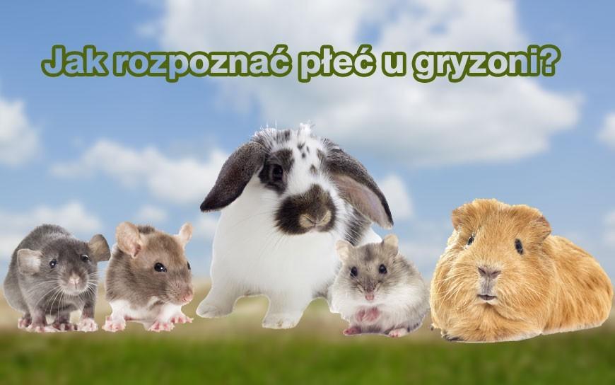 Jak rozpoznać płeć chomika dżungarskiego, syryjskiego, królika i świnki morskiej