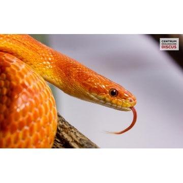 Domowy Wąż zbożowy cena Terrarium Hodowla Odmiany albinos i blizzard