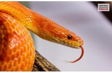 Domowy Wąż zbożowy cena – Terrarium Hodowla Odmiany albinos i blizzard